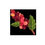 Folhas e Grãos de Café